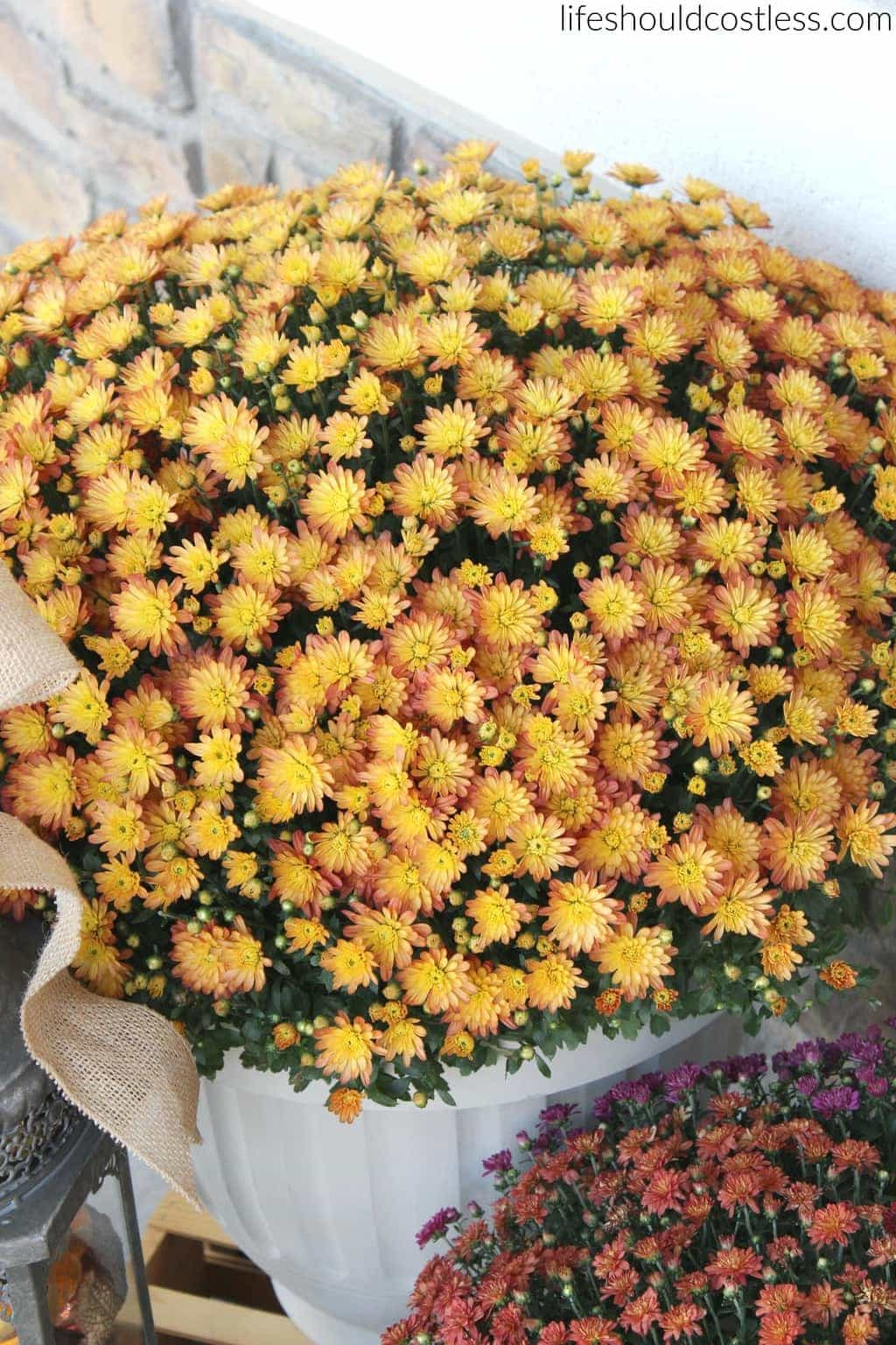 Beautiful fall mums! Get them at Costo!